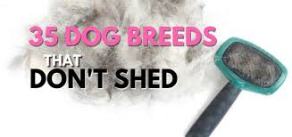 Large Low Shedding Dogs by Play Bark Run Everything About Dogs