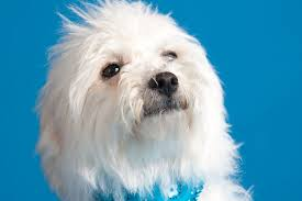 Best Mini Dogs That Dont Shed by Small Fluffy Dog Breeds All About Cute Small Dogs