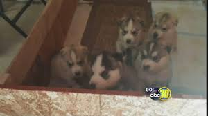 5 Husky Puppies Stolen From Madera County Woman After Craigslist Ad ... Free House On Craigslist Omargoshtv Youtube Fniture Craigslist Turlock Applied To Your Home Oregon Desert Model 45s Coent Page 6 Antique Automobile Club Fresno Woman Stabbed To Death After Date Identified Nissan Of Clovis 2019 20 Top Upcoming Cars Used Toyota Tacoma For Sale Visalia Ca Cargurus Design Orl In Ca All New Car Release Date Jeep Jseries Pickup Classics For On Autotrader