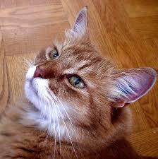 cat wont eat 6 no desire to eat 7 reasons your cat won t eat