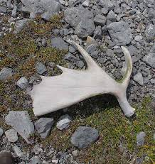 Moose Shed Antler Forums by Stone Sheep Adventure In Bc