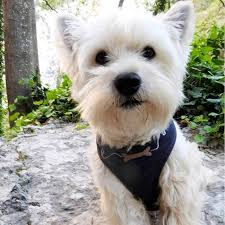 cairn terrier shed hair 6723 best small dogs daily images on small dogs sheds