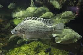 Tilapia Secret Weapon For Algae Control