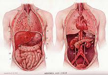 interieur corps humain femme tronc anatomie wikipédia
