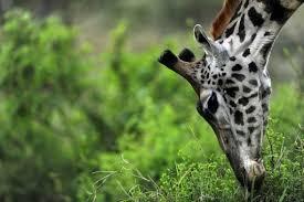 Niger Rare Giraffe Population Makes A Comeback