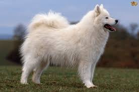 No Shed Dog Breeds Large by Dog Breeds With Curly Tails Pets4homes