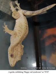 Crested Gecko Shedding Behavior by Meet The Crested Gecko Its Origin Its Important In The Ecosystem