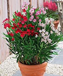 achetez maintenant une plante laurier bakker