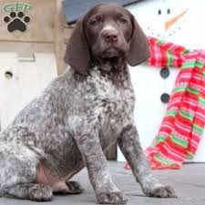 German Shorthaired Pointer Shed Hunter by German Shorthaired Pointer Puppies For Sale Greenfield Puppies