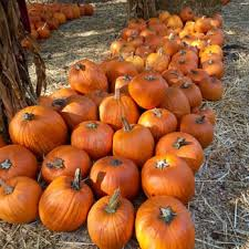 Half Moon Bay Pumpkin Patches 2015 by Clancy U0027s Christmas Trees U0026 Pumpkin Patch 92 Photos U0026 89 Reviews