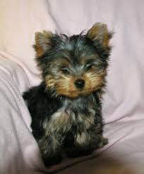 Non Shedding Dog Breeds Small by Dogs That Don U0027t Shed Fact Or Fiction U2013 About Morkies