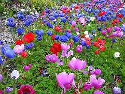 50 mix poppy anemone de caen cut border flower perennial garden