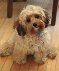 Shed Free Dogs Pictures by The Apricot Schnoodle Easily Trained Don U0027t Shed Hypoallergenic
