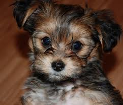 Large Dog Breeds That Dont Shed by 24 Pictures Of Shih Tzu Yorkie Mix A K A Shorkie And Breed Info