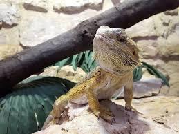 Bearded Heat L Timer by The 25 Best Bearded Lighting Ideas On Reptile