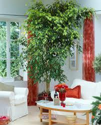 ficus benjamina feigenbaum als bild kaufen 12220073