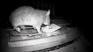 GREATEST RAT TRAP EVER!! IN ACTION CATCHING RATS!! - YouTube Details Amazoncom Bonazza Mice Repellent Plugin Ultrasonic Pest The Battle Of And Men Pparedness Pro How To Get Rid Of Permanently Without Professional Help Youtube Control 1 Resource For Horse Farms Stables Riding Rats In Your Barns Stall13com Videos To Naturally Natural Rat Guide 5 Easy Steps Helpful Hints Pinterest Chicken Chick 15 Tips Rodents Around Coops Just One Bite Ii Bars And Killer8lbs8 16 Oz Bars Pet Coats Hairless Rex Harley Uerstanding Fancy Keep Other Out Your Car Engine