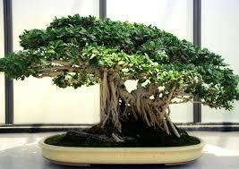 pot bonsai grande taille ficus microcarpa ou ficus bonsaï ficus ginseng culture et entretien