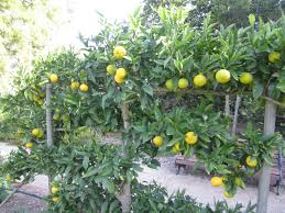 Espalier Fruit Trees Photos - Google Search | Espalier Fruit Trees ... Backyard Farming Photo On Marvelous Fruit Trees Texas Plant A Tiny Orchard Hgtv Dwarf Peach Tree Peaches And Ctarines Pinterest 81 Best Pattern 170 Images On Garden And Berries In Small Mesmerizing 3 Fruit Trees For Small Space Yards Patios Youtube Backyards Gorgeous 135 Good For Yards Splendid Interesting Pics Decoration Inspiration Best To Grow Cool Glamorous Privacy Design 25 Ideas Patio