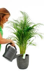 areca pflege 123zimmerpflanzen