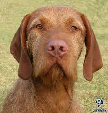 Vizsla Dog Breed Shedding by Wirehaired Vizsla Complete Breed Information And Photos