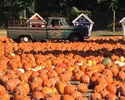 Pumpkin Picking Riverhead by Demarest Farm Pumpkin Picking Night Information 10 06 17