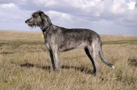 Irish Wolfhound Non Shedding by Types Of Hound Dogs