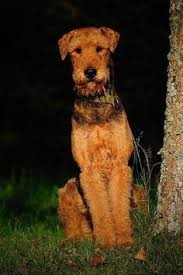 Airedale Terrier Non Shedding by Airedale Terriers Are Such A Handsome Breed This Guy Reminds Me