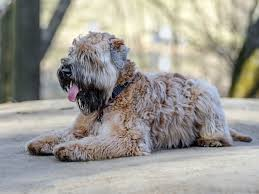 Do Wheaten Terrier Dogs Shed by The Smartest Dog Breeds Business Insider