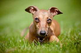 Do Italian Greyhounds Shed A Lot the 10 dog breeds that shed the least u2013 iheartdogs com