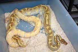 ssscales ball pythons