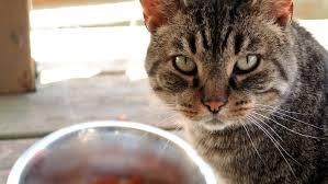cat wont eat my cat won t eat solid food kitty help desk