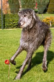 Irish Wolfhound Non Shedding by Scottish Deerhound Dog Breed Information Pictures