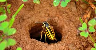 wasp nest best ways to remove these nests pestwiki