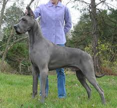Do Akitas Shed Bad by Do Great Danes Shed U2022 Bunkblog