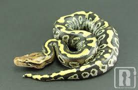 Coastal Carpet Python Facts by Carpet Python The Snake Boss Blog