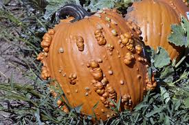 Types Of Pumpkins For Baking by Reasons For Warty Pumpkins U2013 Why Do Some Pumpkins Have Bumps
