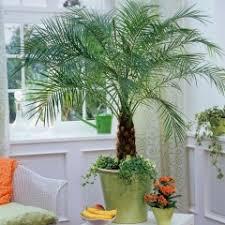 prendre soin de votre palmier d intérieur jardinerie truffaut