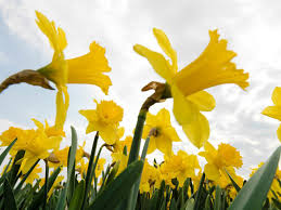 large cupped narcissus
