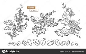 Vector Set Of Coffee Tree Branches With Flower Leaves And Beans Botanical Drawing Sketch Line Art Design Realistic Nature Style Organic Illustration