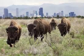 Bison Deck Supports Denver Co by Mccoy Seminars Home