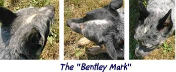 Blue Heeler Mix Shedding by Cattledog Com Internet Home Of All Things Australian Cattle Dog