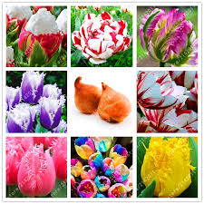 2 bulb true tulip bulbs not tulip seeds tulips variety fresh