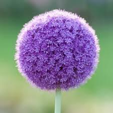 25 bulbs allium purple sensation flowering bulbs