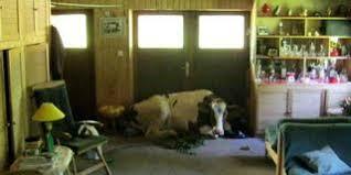 muh eine kuh quickborn kuh springt durch scheibe in