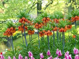 fritillaria imperialis crown imperial world of flowering plants