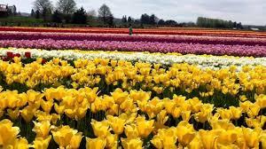 skagit valley tulip fields mount vernon washington state usa