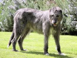Irish Wolfhound Non Shedding by Good Family Dogs Taking The Lead