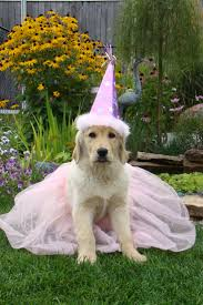 Old Westbury Gardens Dog Halloween by 11 Best Disfraces De Mascotas Images On Pinterest Costumes