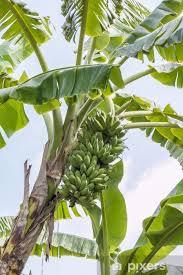 fototapete bananenbaum